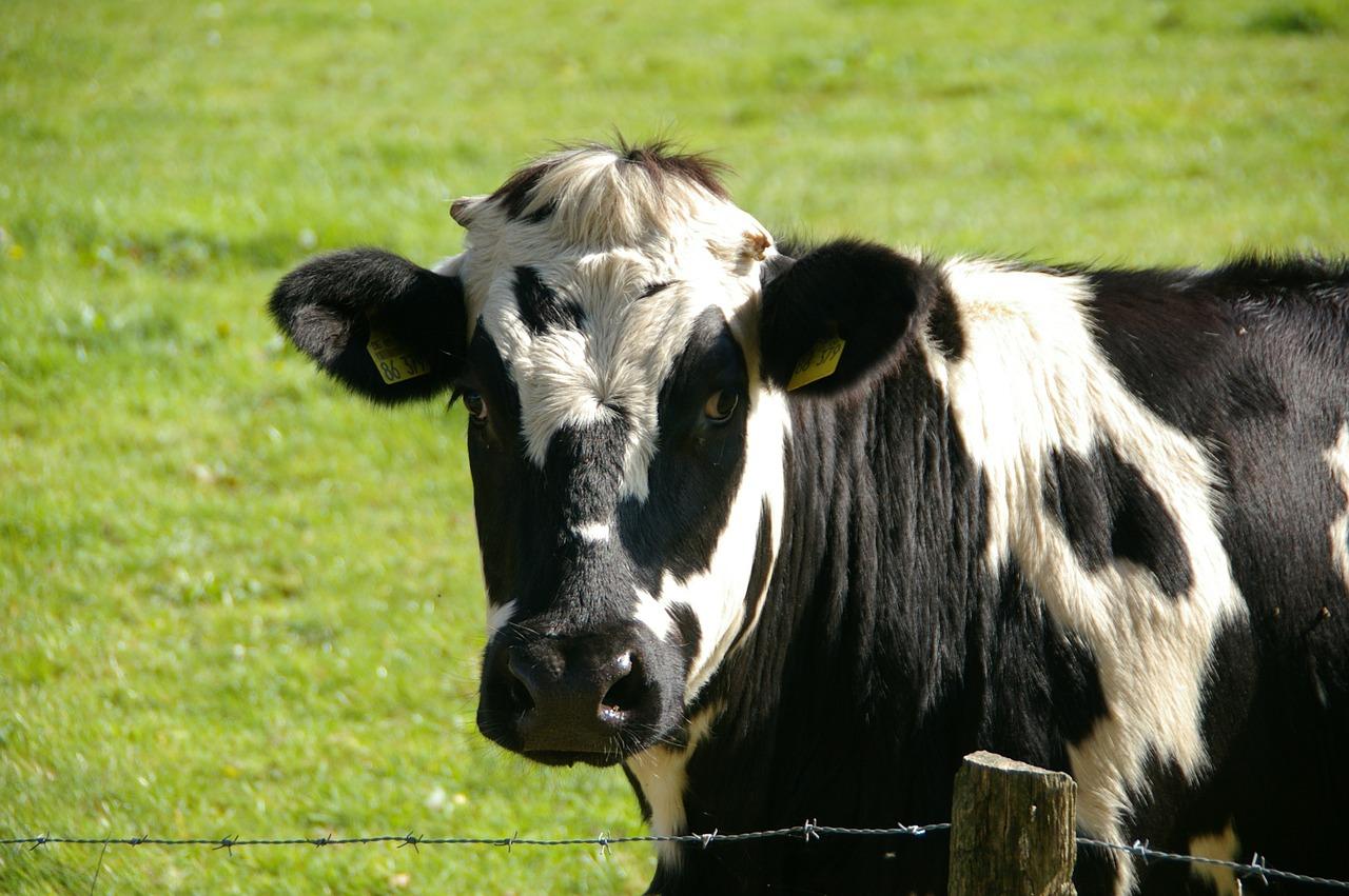 Objawy nietolerancji laktozy – uczulenie na mleko. Alergia na mleko krowie
