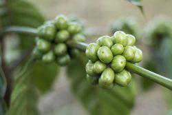 Zielona kawa – nowy, dietetyczny hit – a może tylko zwykła kawa?