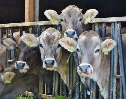 W żywieniu bydła stosuj młóto browarniane